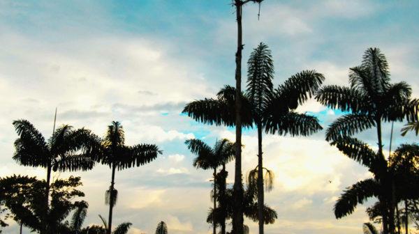 Hacienda Los Bancos - La Florida Árbol Pambil atardecer