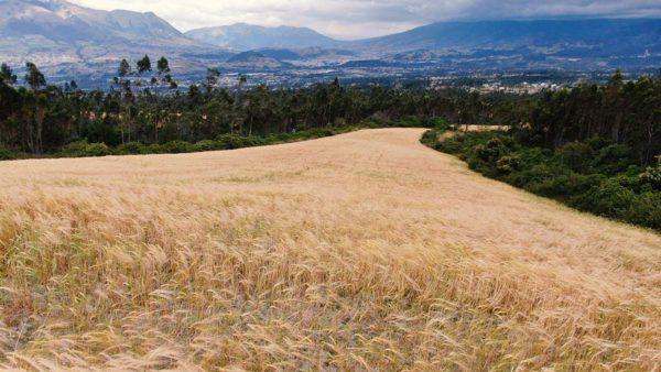 Hacienda Cotacachi Medium Crops